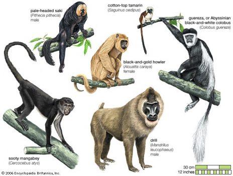 Mammals/primates/body of representative Anthropoids/monkeys omammal095j 528 x 700 9th of April, 2003 cmmccabe