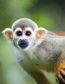 Common-squirrel-monkey