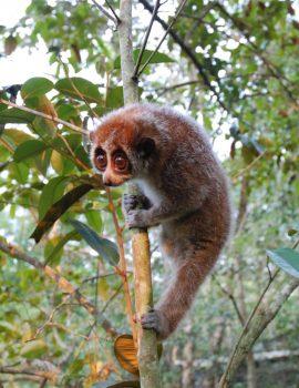 Pygmy slow loris (1)