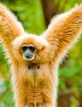 lar gibbon (1)