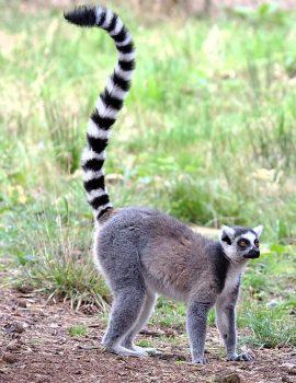 ring-tailed lemurjpg