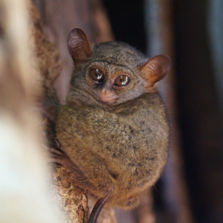 tarsier-tangkoko-national-park-sulawesi-indonesia