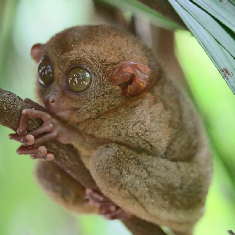 tarsiers-of-bohol-1